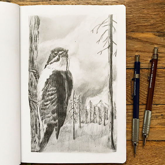 Recent Work: Black-backed Woodpecker