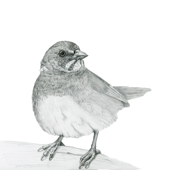 Birds in Pencil and Ink [Recent Work]
