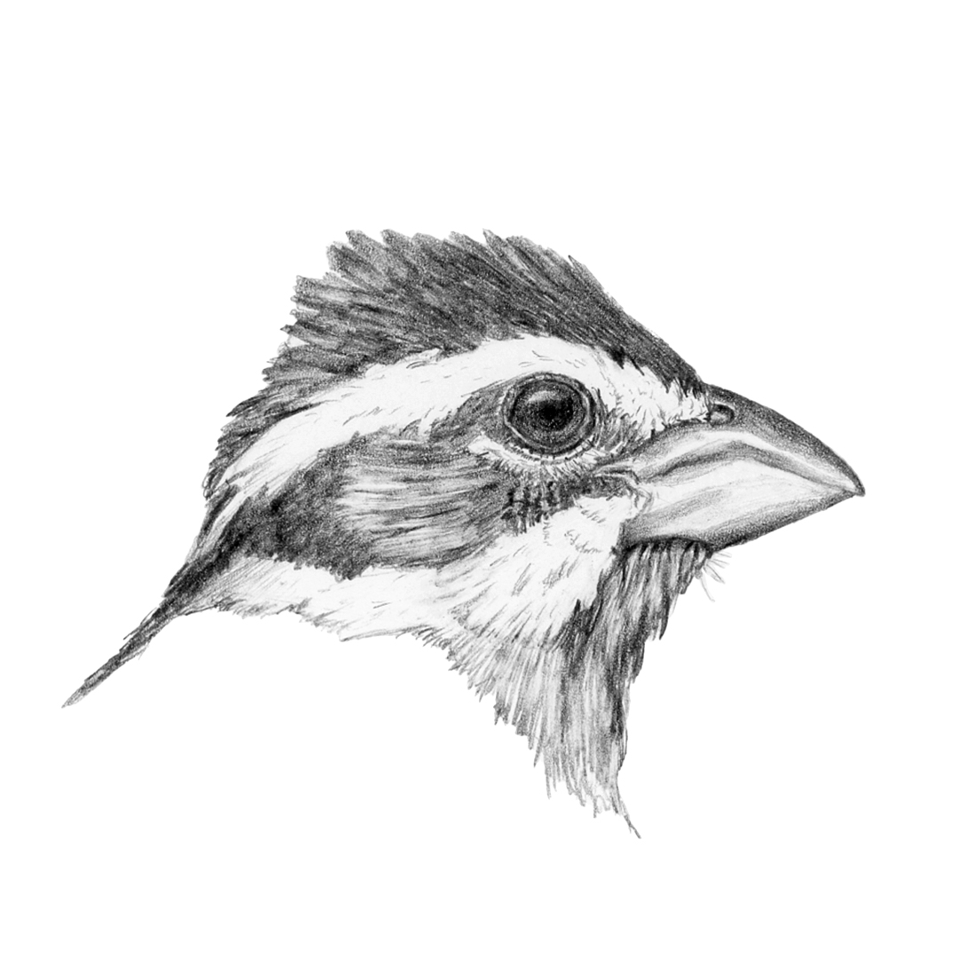 Black-headed Grosbeak illustration in graphite