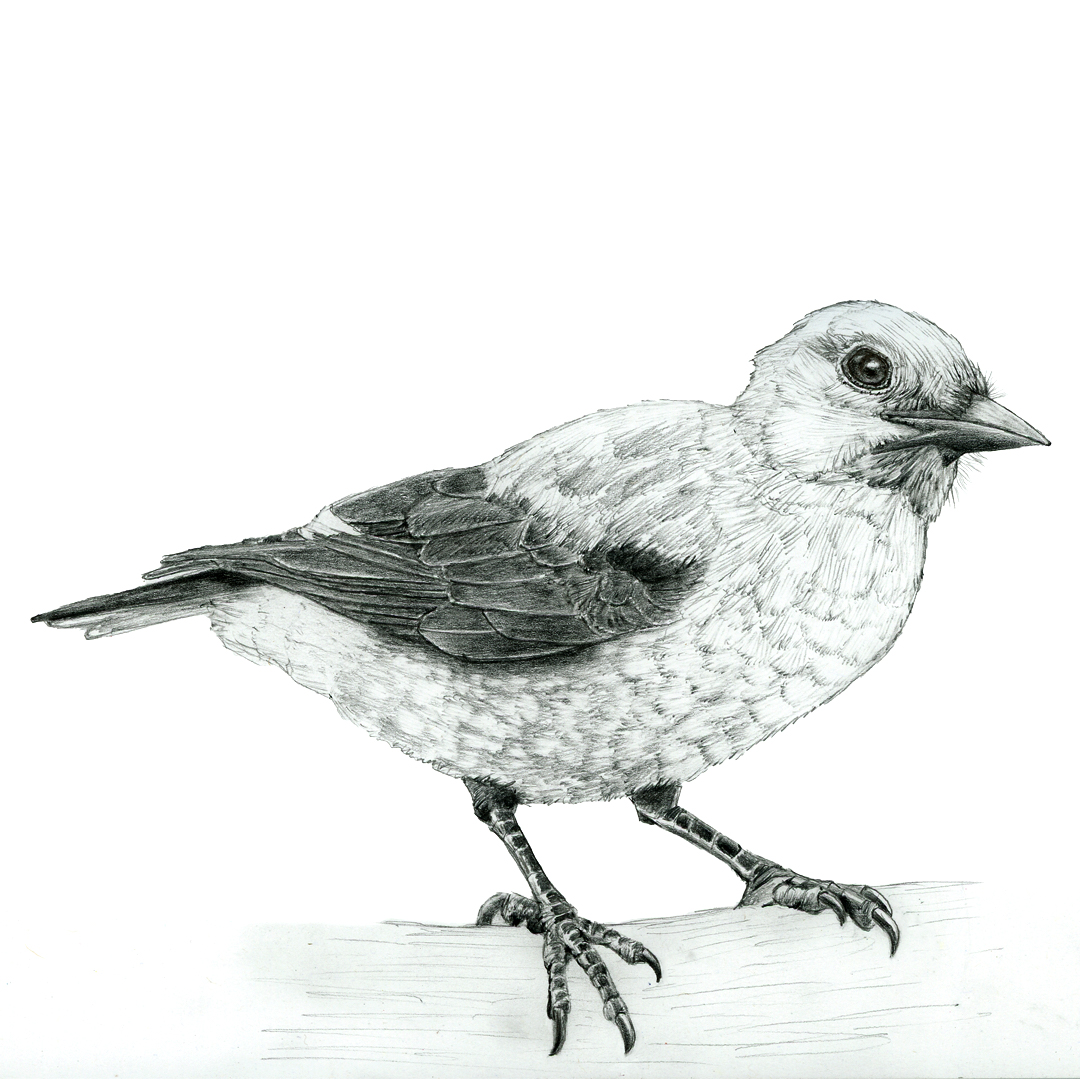 Clark's Nutcracker illustration in graphite