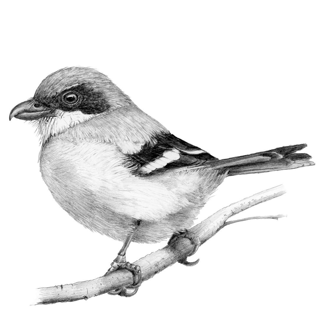 Loggerhead Shrike illustration in graphite.
