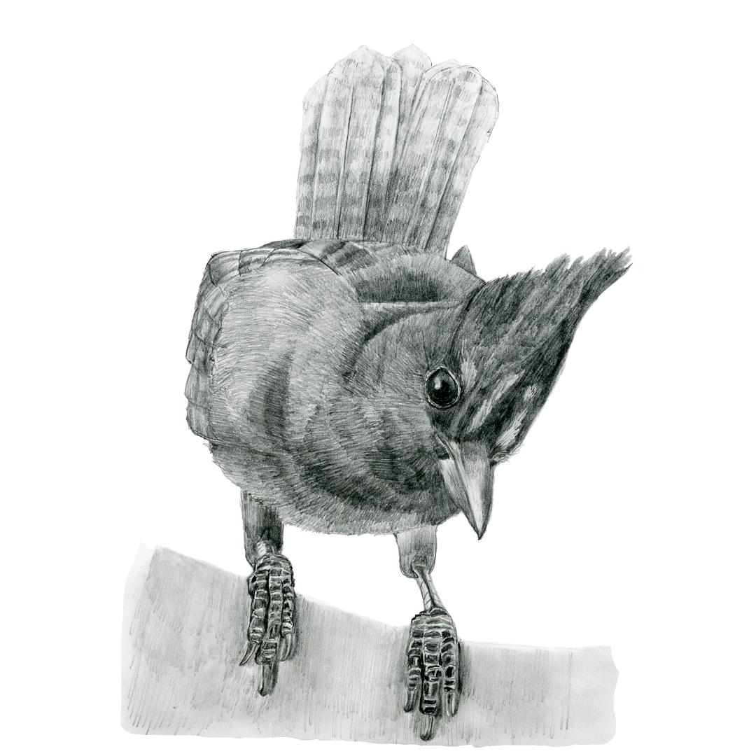 Steller's Jay illustration in graphite