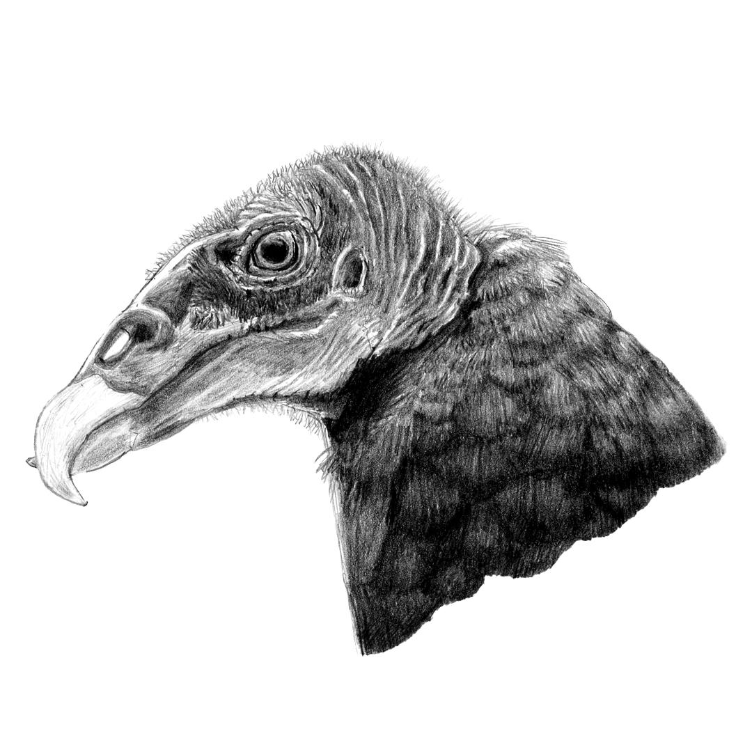 Turkey Vulture illustration in pencil