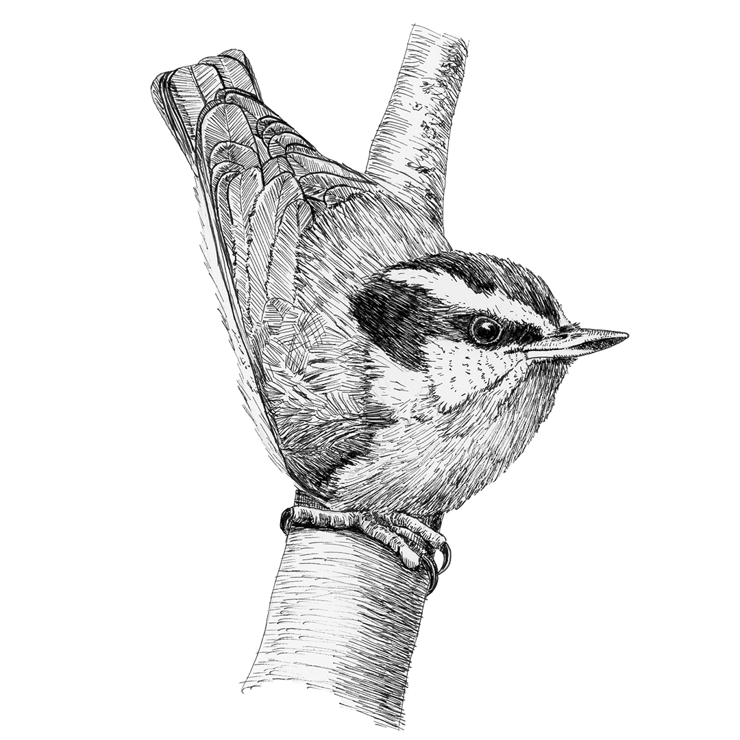Red-breasted Nuthatch illustration in ink